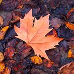 Autumn Leaf by Consuelo-Parra