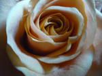cream rose -1