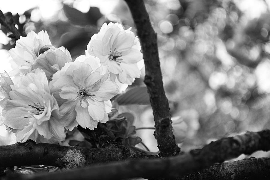 Cherry Blossom Drawing Black And White Black And White Cherry Blossom
