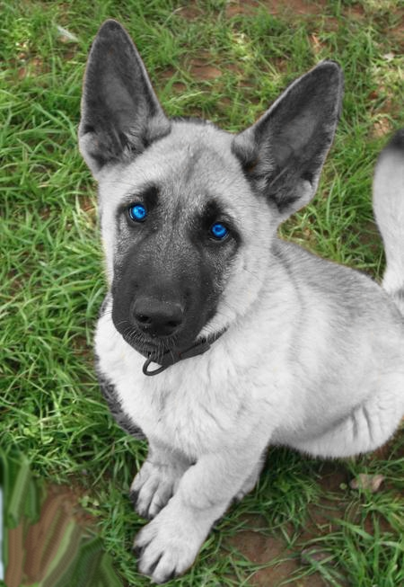 White German Shepherd Blue Eyes German_shepherd_by_polakgirl1- ...