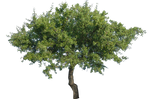 Tree 2 (PNG with transparency)