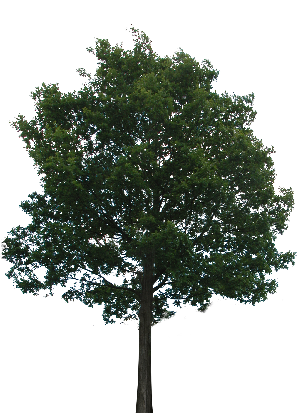 Tree 1 PNG With Transparency By Bupaje