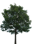 Tree 1 (PNG with transparency)