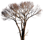 Tree-3 (PNG with transparency)