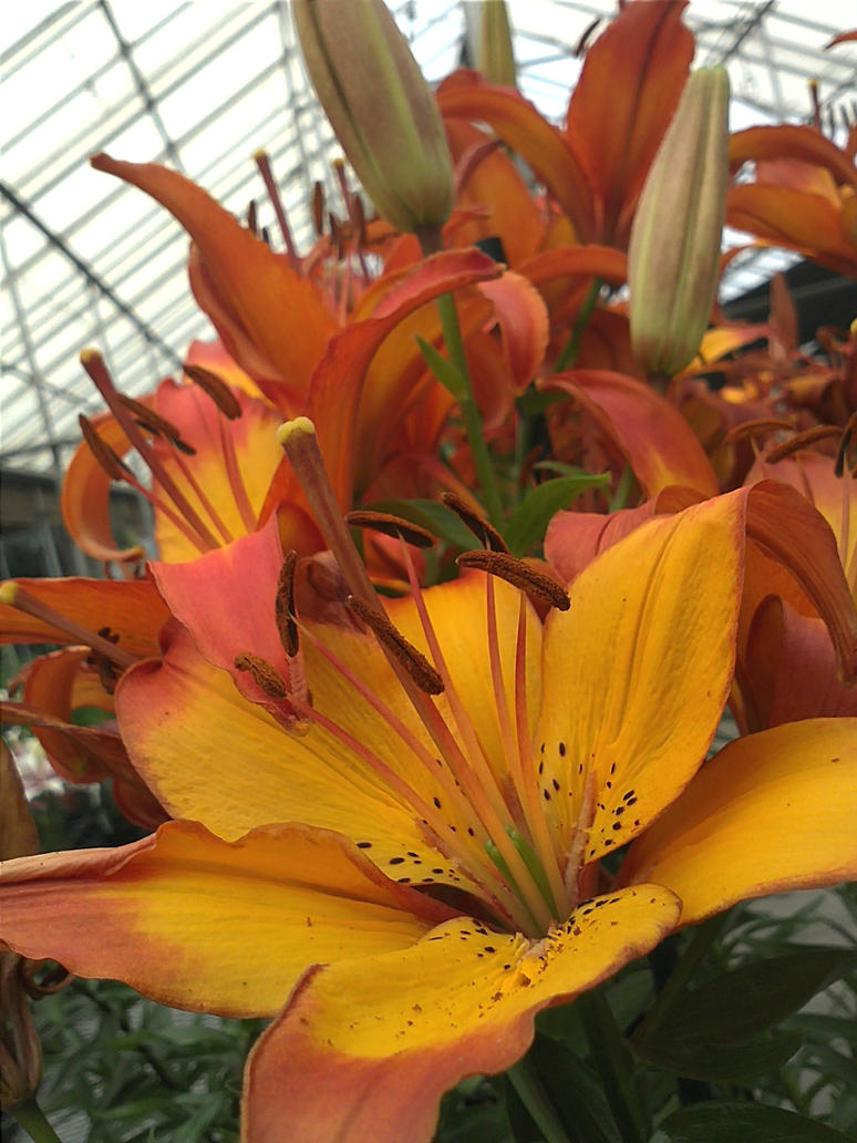 orange  lily by Temaire