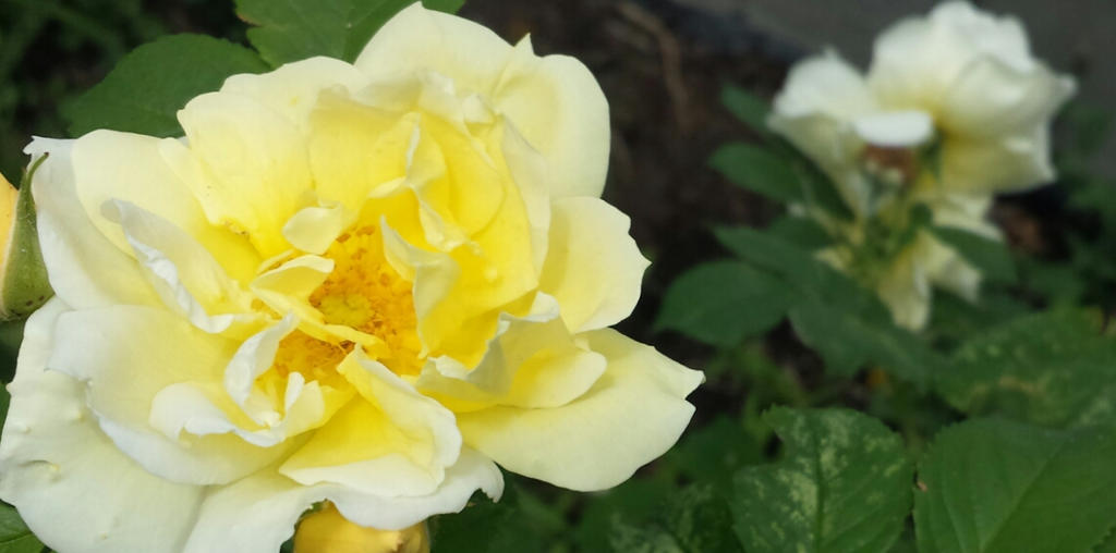 yellow rose by Temaire