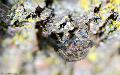 Cicada's Face