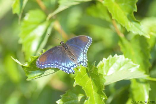 Blue Butterfly Resting It's Wings