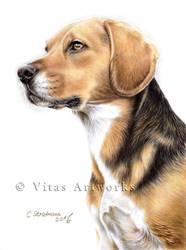 Beagle in colored pencil