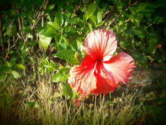 Gumamela in Pink by dreamsinhidefinition