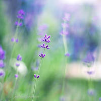 Lavender Dreams by Healzo