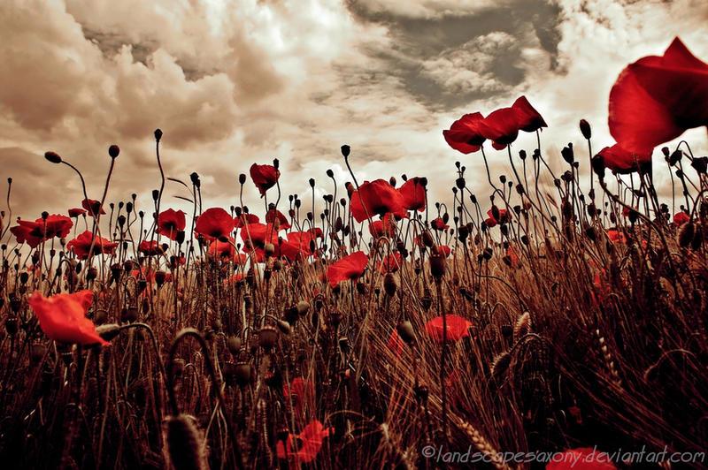 poppyworld by landscapesaxony