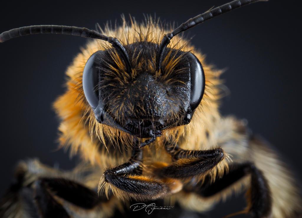 Honey Bee... by DeoIron