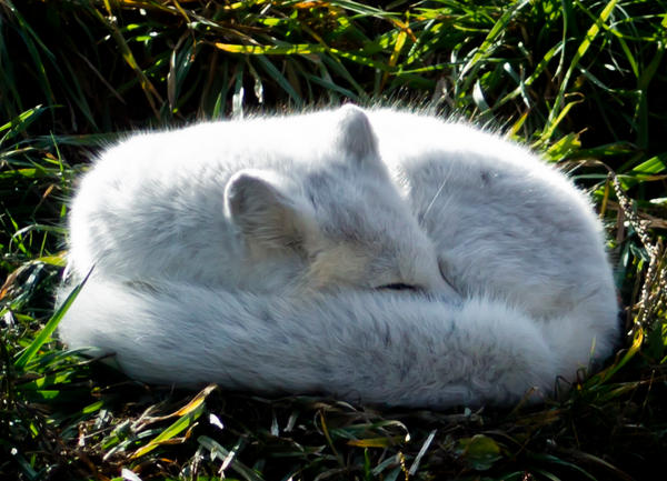 Arctic Fox by JessicaDobbs