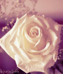 Antique Rose by JessicaDobbs