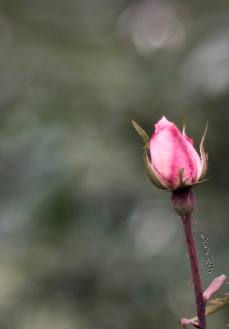 Lone Rose by JessicaDobbs