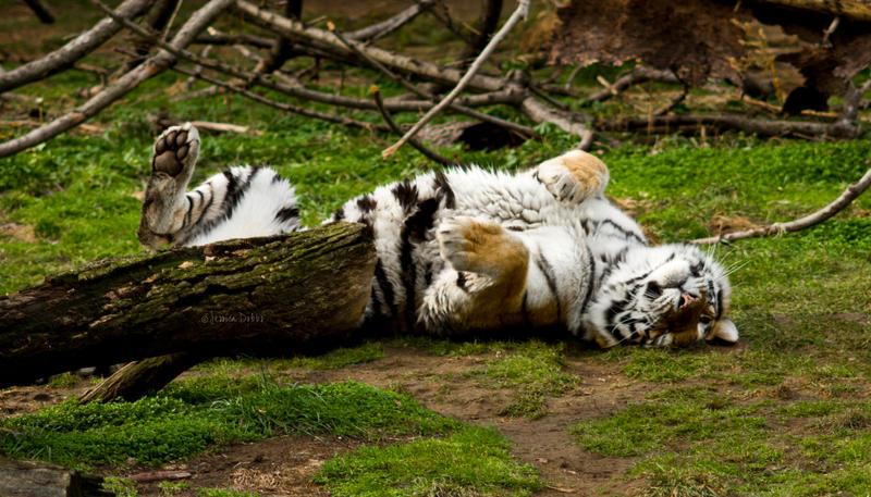 Tiger Rolls by JessicaDobbs