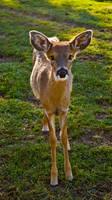 Little Deer STOCK