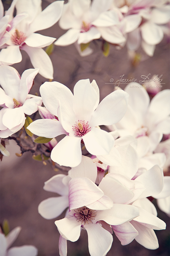 Soft Magnolia Blooms by JessicaDobbs