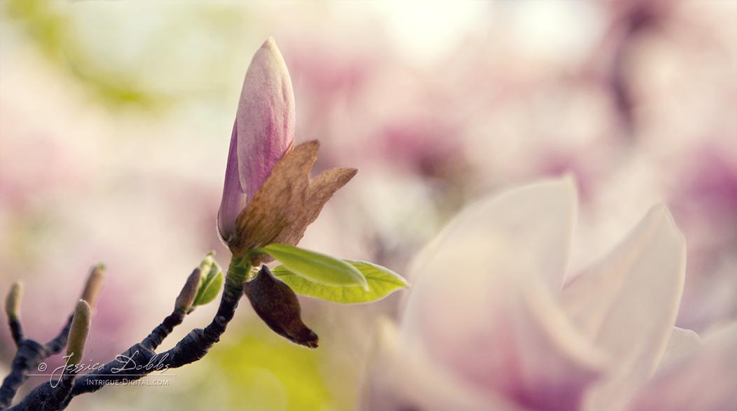Magnolia Bud by JessicaDobbs