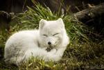 Sleepy Foxy