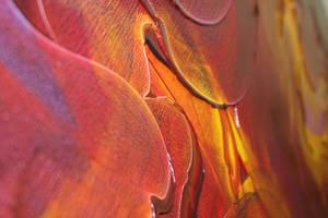 Aposema-Canvas Detail by ChrisPanatier