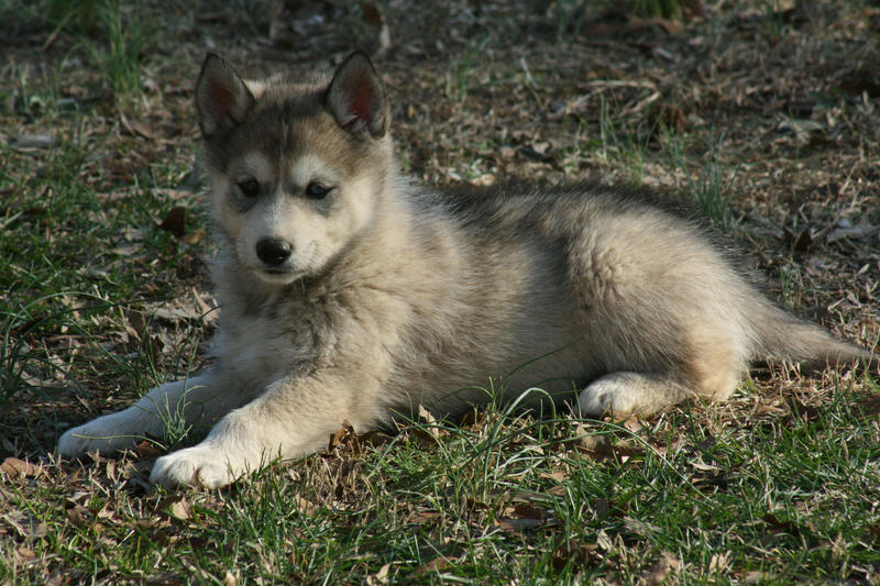The Timber Wolf is a wolf hybrid or wolfdog that is normally bred with the Alaskan Malamute, Siberian Husky or German Shepherd. The first documented breeding of .