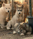 Wolf-Dog Puppy Buddies