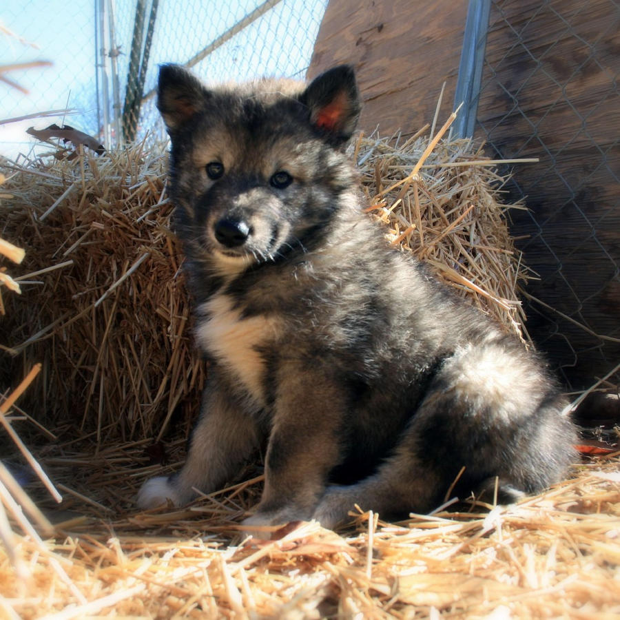 Black wolf dog hybrid