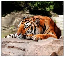 Sleeping Bengal by Silwolffe