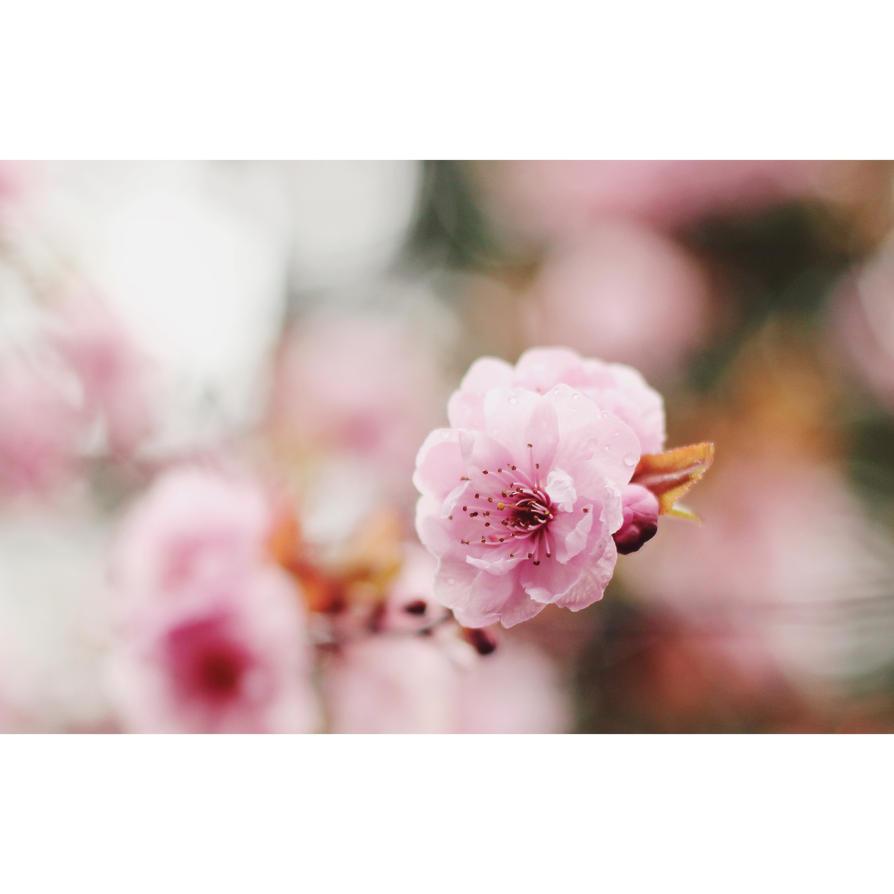 Sakura by petits-bonheurs