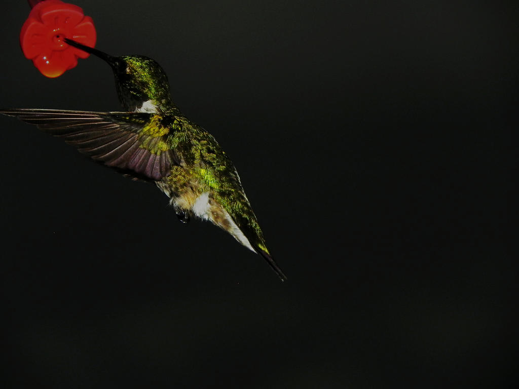 Ruby Throated Humming Bird 001 by RedPangolin