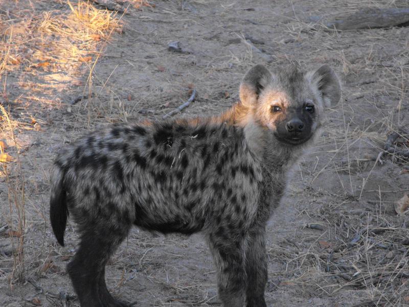 Hyena Pup 001 by RedPangolin