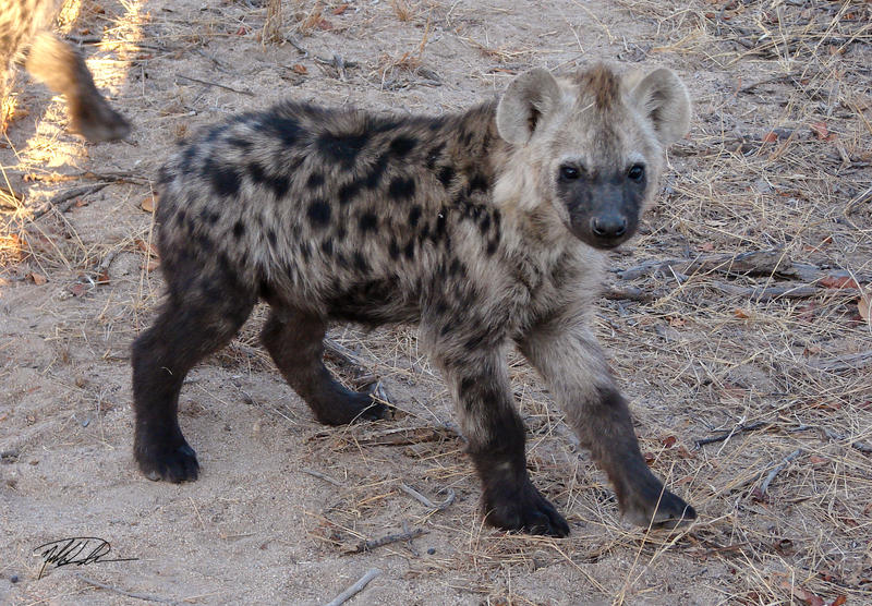 Hyena 02 by RedPangolin