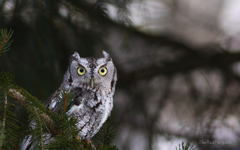 Eastern Screech Owl by RedPangolin