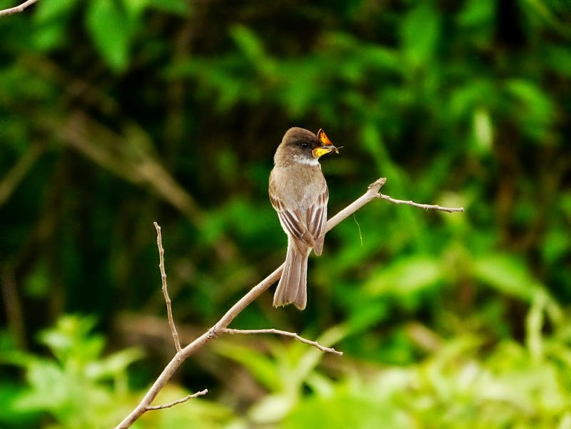 Eastern Phoebe with lunch by RedPangolin