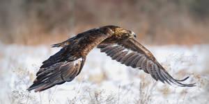 Golden Eagle Soar