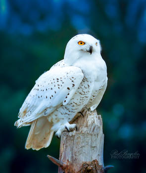 Perched Snowy
