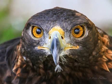 Golden Eagle Eyes