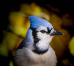 Blue Jay Profile 2b2a8414