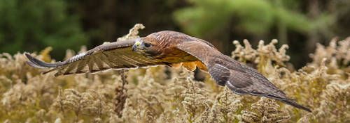 Red-Tailed Hawk 2b2a1754