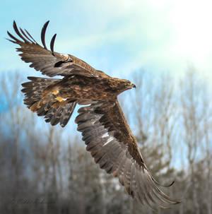 Golden Eagle 2b2a2097