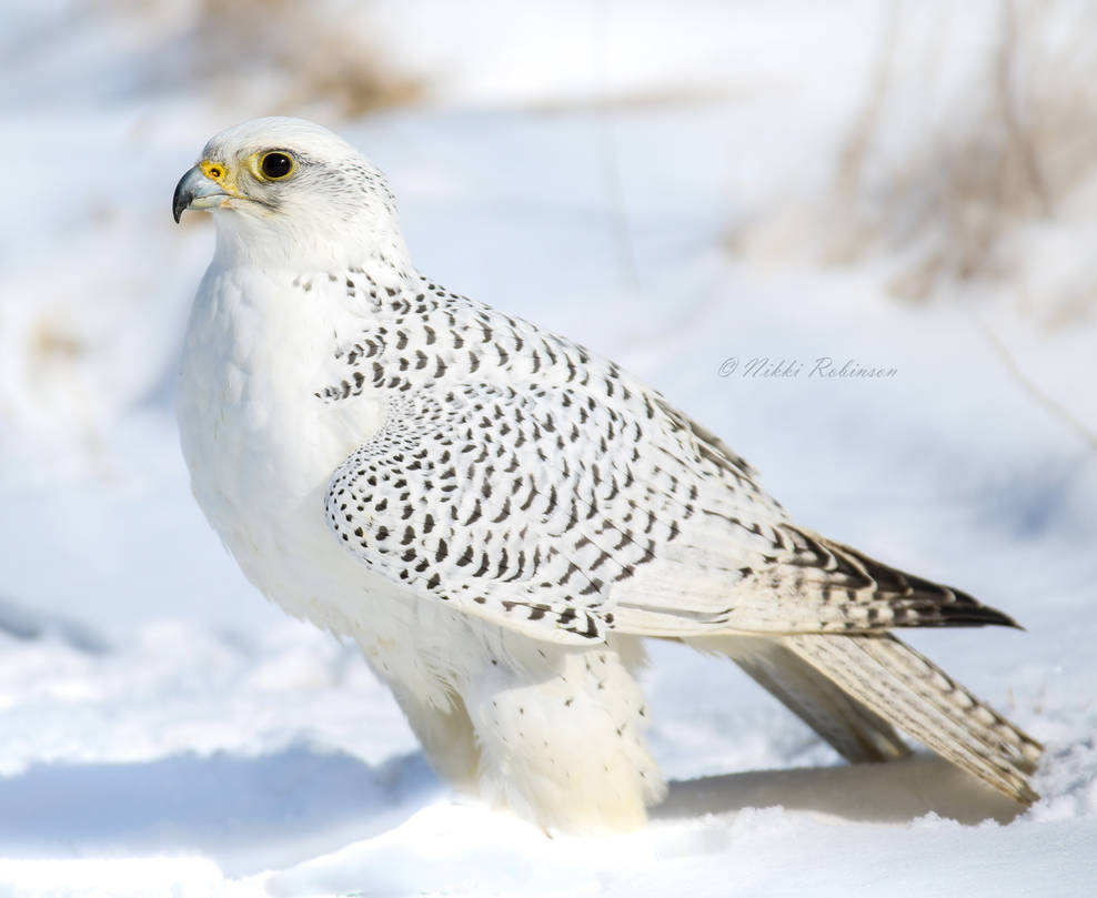 Winter Gyrfalcon