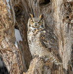 Camouflage series: Great Horned Owl