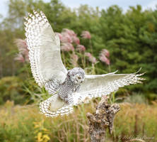 Learning to fly - Snowy Owl