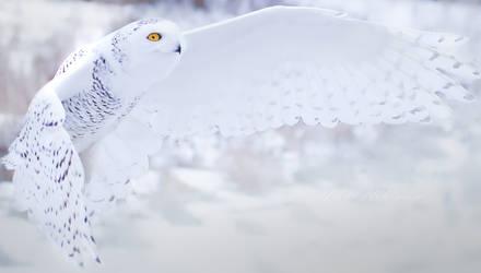 Snowy Owl by RedPangolin