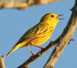 Yellow Warbler 2b2a3495