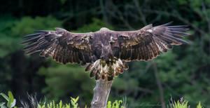 Golden Eagle Wingspan