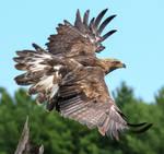 Eagle Tail