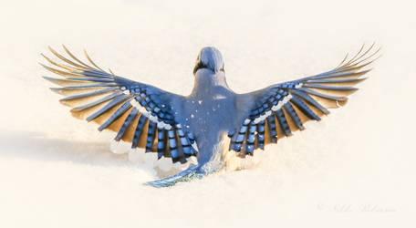 Jay Wings I